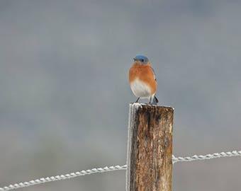 Blue Bird Frosty Morning