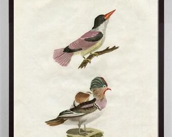 Pastel Bird Art, Antique Bird Print, Bird Art, Colorful Bird Art, Audubon Art, Gift for Bird Lover, victorian art, bird specimen