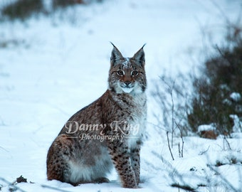 Lynx d'Eurasie sauvages