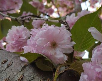 Cherry tree photoset - digital download