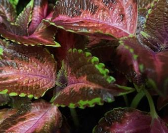 Coleus Burgundy Ruffles (Plectranthus scutellarioides 'Burgundy Ruffles')