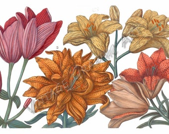 Antique Floral Illustrations for Decoupage, Wall Art Prints, Collages Lily 2 034