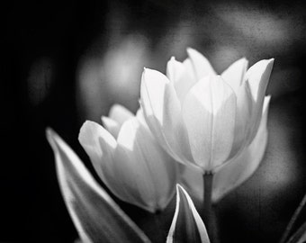 """Black and White Tulip Photography, flower dark neutral print grey picture floral artwork gray modern nature large wall photo, """"Captivate"""""""
