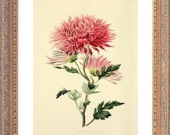 VICTORIAN Botanical Chrysanthemum - Giclee Reproduction Colour Print