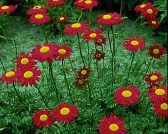 Chrysanthemum -Coccineum Robinson's - Red -200 Seeds