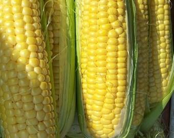 Golden Bantam Sweet Corn Garden Seeds Non-GMO 150+ Seeds Heirloom Gardening