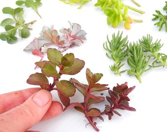 Larger Sedum Cuttings For Larger Miniature Garden Containers, Barbie, One  Six Scale, Fairy