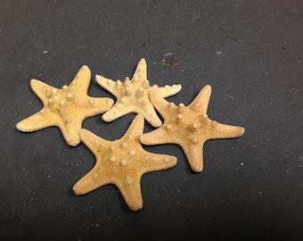Knobby Brownish Starfish (Small)  (3 starfish)