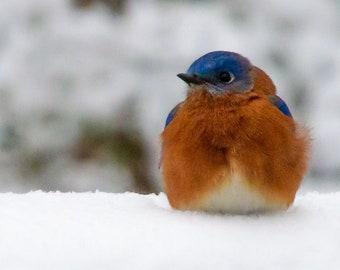 Bluebird in the Snow, Bluebird, Bird Photo, Wildlife Photo