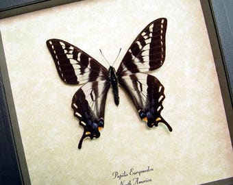 Real Framed Papilio Eurymedon Male North American Pale Swallowtail Butterfly 8066