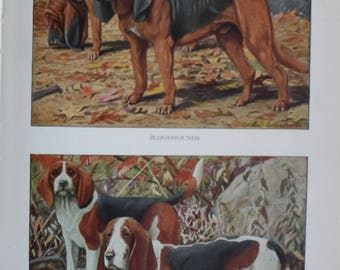 antique print bloodhounds, beagle and basset 1927