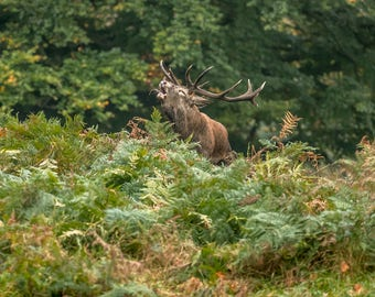Wildlife Photographic signed mounted A4/A3 Prints of a Red Deer