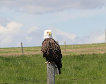 Eagle on Fence Post 8x10 photo (matted)