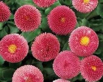 English Daisy Bellis Rose Flower Seeds/Biennial   50+
