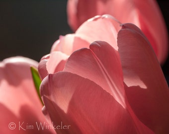Pink Tulips Fine Art Photograph 8x10