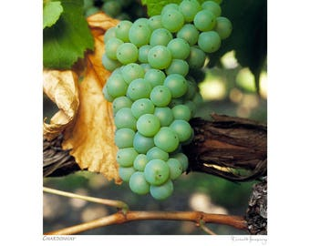 Chardonnay grape bunch - unframed 40cm x 50cm print