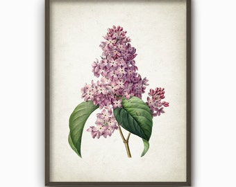 Lilac Flower Antique Botanical Art Print - Vintage Botanical Home Decor - Giclee Lilac Picture (AB10)