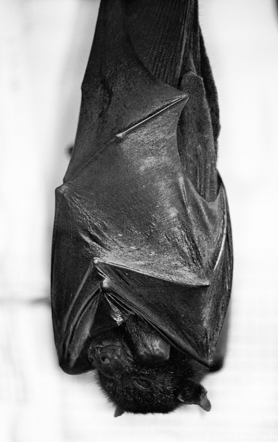 Black and white photography black bat sleeping halloween
