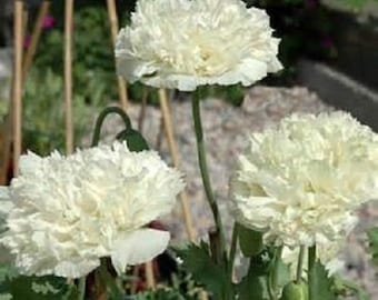 10 White Cloud Poppy Seeds-1141
