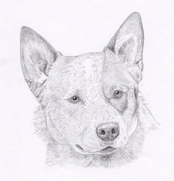 Red Heeler Dog Drawing