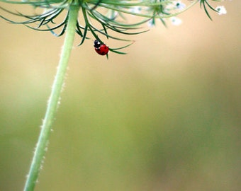 Ladybug Photo Print - Queen Anne's Lace, flower Photography, ladybug photography, ladybug art print, whimsical decor, nature wall art