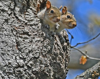 Young Squirrels, Charlotte, North Carolina: archival print signed and matted