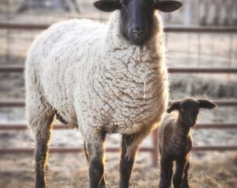 Ewe, lamb, fine art, photograph, barblassa, Suffolk, sheep, spring
