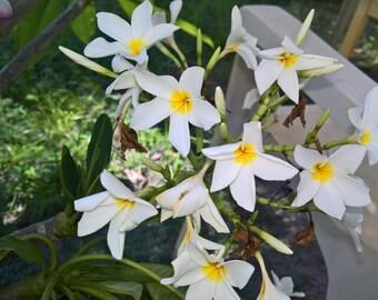 Plumeria Frangipani  White With Yellow  Sweet Fragrance