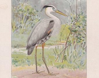 Original Antique Bird Print: Great Blue Heron by Ridgway 1898