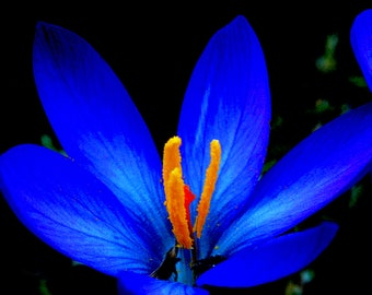 """Photo print """"Crocus flower"""", Makropfotographie"""