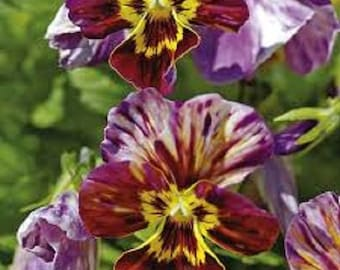 Viola Brush Strokes Flower Seeds / Williamsiana / Perennial   25+