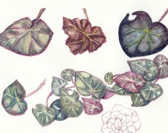 Illustration | Begonia