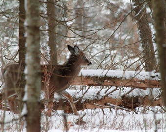 Instant Digital Download Color Nature Photography Adirondack White-Tailed Deer Printable