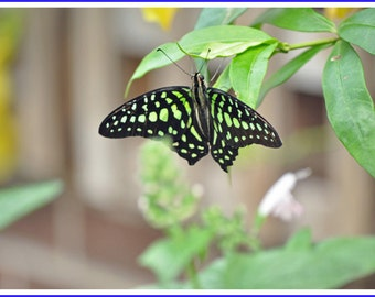 Tailed Jay Butterfly Nature Photo Greeting/Note Card
