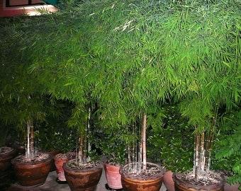 Bamboo Tree, 50+ Seeds(Bambusa Bambos),Rare!