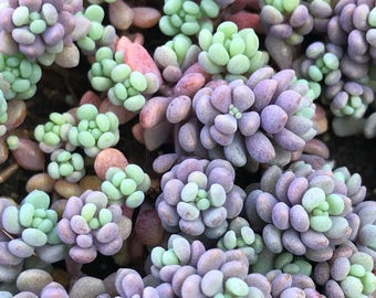 "Sedum dasyphyllum 'Minor' - rainbow succulent plant; shown in 4"" pot; drought-tolerant, housewarming, ground cover, succulent for arrangemen"