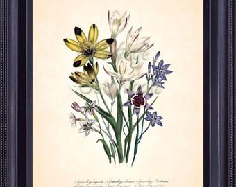 LOUDON Botanical Print 8x10 Vintage Floral Art Plate 21 GEISSORHIZA Antique Yellow Purple Lilac Flowers Summer Bouquet Home Decor BF1114