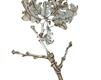Oak Leaf and Twig ink drawing as Digital image for personal use or your work / Internet communication