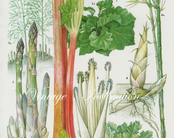 Vintage Botanical Print Antique RHUBARB, plant print botanical print, bookplate art print, asparagus fruit plants plant wall