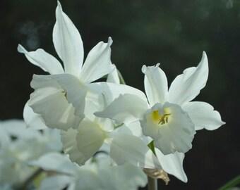 Narcissus 'Thalia' - Narcissus Triandus Daffodils - pure white - 6 bulbs