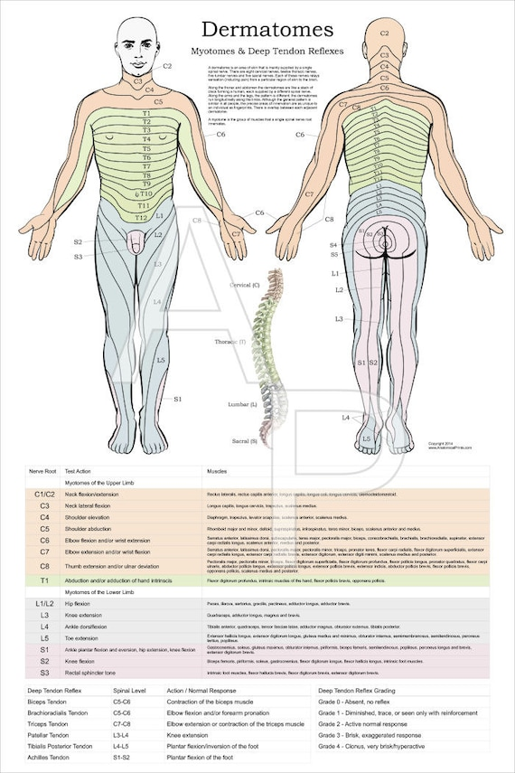 Dermatomes Myotomes and DTR Poster 24 X 36