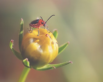 Red Beetle Color Photo Print { red, black, yellow, bud, insect, flower, bug, egg, sunlight, wall art, macro, nature & fine art photography }