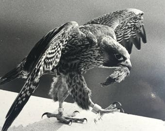 Vintage photo black and white hawk with feather in mouth photo by Henry F Zeman