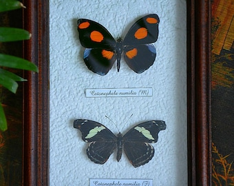 Butterfly Collection Framed Taxidermy  Catonephele Numilia Female and Catonephele Male