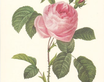 vintage botanical print by Pierre Redoute, a pink rose, shabby chic home decor.