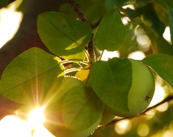Autumn Apple - harvest photograph green fruit sun nature botanical art