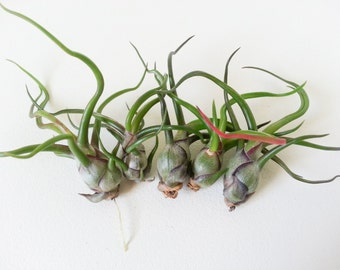 5 bulbosa tillandsia airplants set