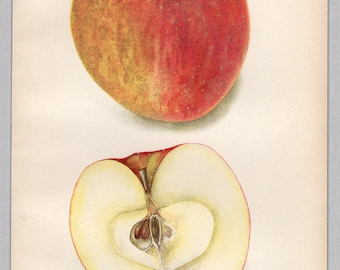 1904, Antique Print, Apple, York Imperial Apple, Fruit Print, Original