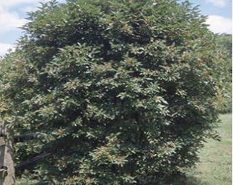 100 Silky Dogwood Tree Seeds, Cornus Amomum