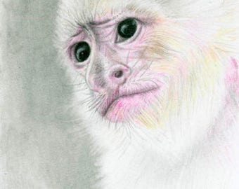 Capuchin Artist Trading Card Drawing Graphite Colored Pencil Drawing
